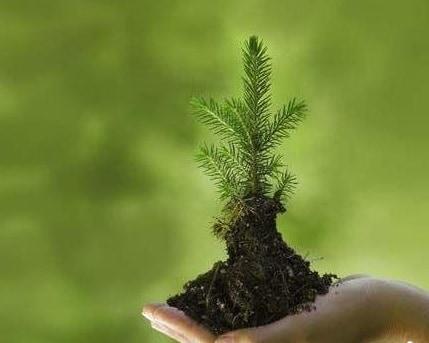 Как посадить ель на участке осенью