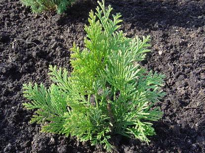 Посадка можжевельника как сажать его весной в открытый грунт Какую почву он любит Как правильно посадить летом и осенью на участке