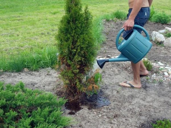 Подкормка туи осенью: виды удобрений для осенней подкормки