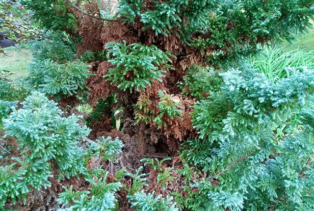 Хвойные деревья уход осенью