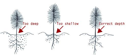 Как правильно сажать можжевельник осенью особенности осенней посадки