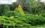 Когда лучше пересаживать можжевельник весной или осенью?